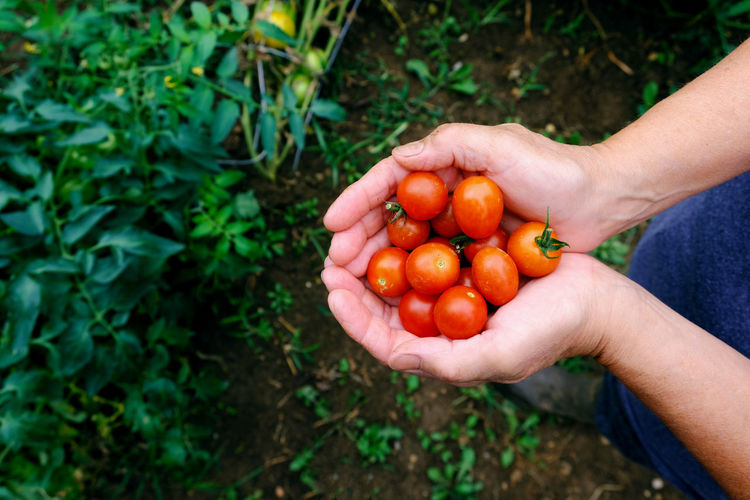 Ripe red cherry tomatoes in hand from garden. Hand Human Hand Human Body Part Food And Drink Holding Food Freshness Healthy Eating One Person Wellbeing Agriculture Organic Day High Angle View Tomato Nature Plant Vegetable Growth Outdoors Ripe Hands Cupped Farmer Tomatoes Cherry Tomato Cherry Tomatoes Garden Harvest Fresh Red