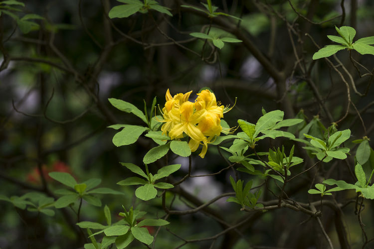 Yellow azalea in the garden in spring Nature Plant Azalea Beauty In Nature Blooming Blossom Branch Close-up Day Flower Focus On Foreground Fragility Fresh Freshness Garden Green Color Growth Leaves Outdoors Petal Spring Springtime Yellow
