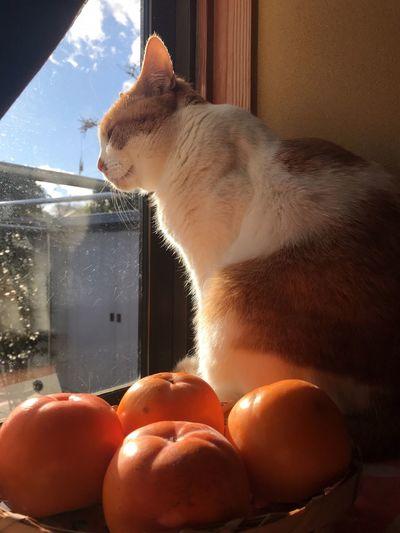柿とくぅちゃんの日向ぼっこ Hosumi くぅちゃん 柿 EyeEm Selects Animal Themes Pets Domestic Animals Domestic Cat One Animal Mammal