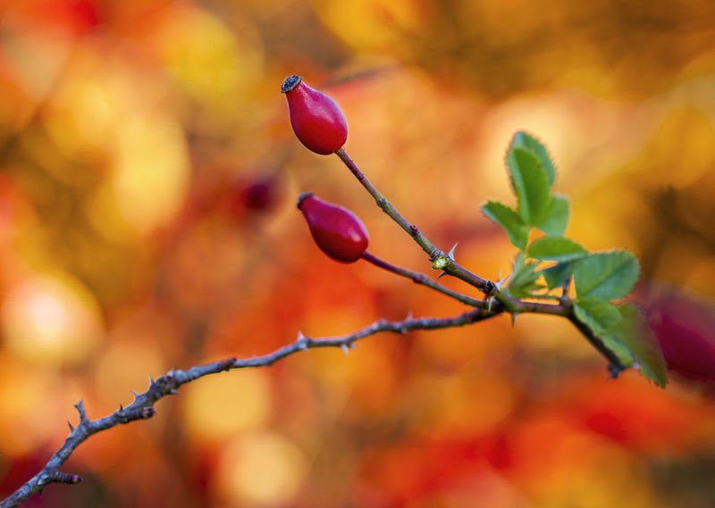 Autunno sul carso Autumn Beatiful Nature Beauty In Nature Beauty In Nature Branch Close-up Color Day Focus On Foreground Fragility Freshness Growth Leaves Nature No People Outdoors Plant Rose Hip Twig