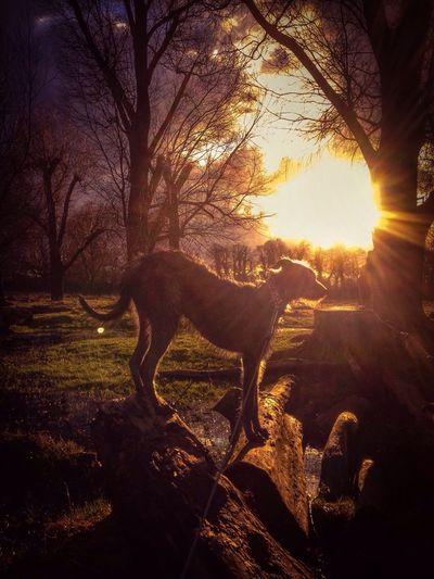 Enjoying Life Sighthound I Love My Dog Lurcher LEO... The One Eyed Lurcher... Bushy Park London United Kingdom Hampton Hill Hampton