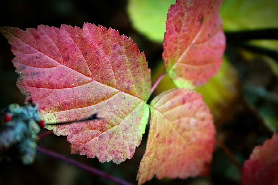 Photography Close-up Leaf Growth No People Freshness Focus On Foreground Autumn Autumn Colours Nature Beauty In Nature