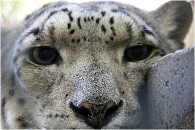 Close-up portrait of snow leopard