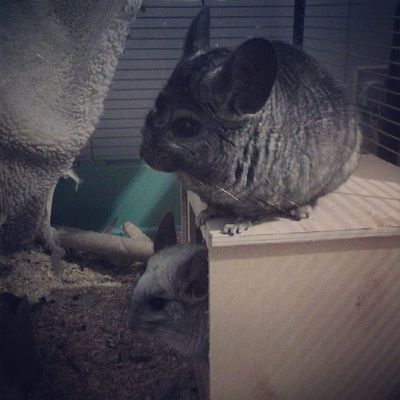 The chins got to move in to their new home a few weeks early Chinchilla MyBABiES Fluffies Crazybabies
