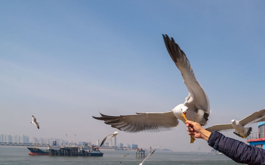 seagull focus food on hand Animal Animal Themes Animal Wildlife Animals In The Wild Bird Body Part Day Feeding  Flying Group Of Animals Hand Human Arm Human Body Part Human Hand Mid-air Motion Nature Outdoors Real People Seagull Sky Spread Wings Vertebrate