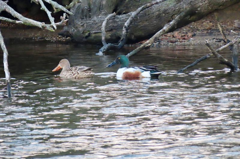 Pair of northern shovelers male and female ducks swimming water ripples bare tree branches birds of EyeEm animal themes outdoors beauty in nature