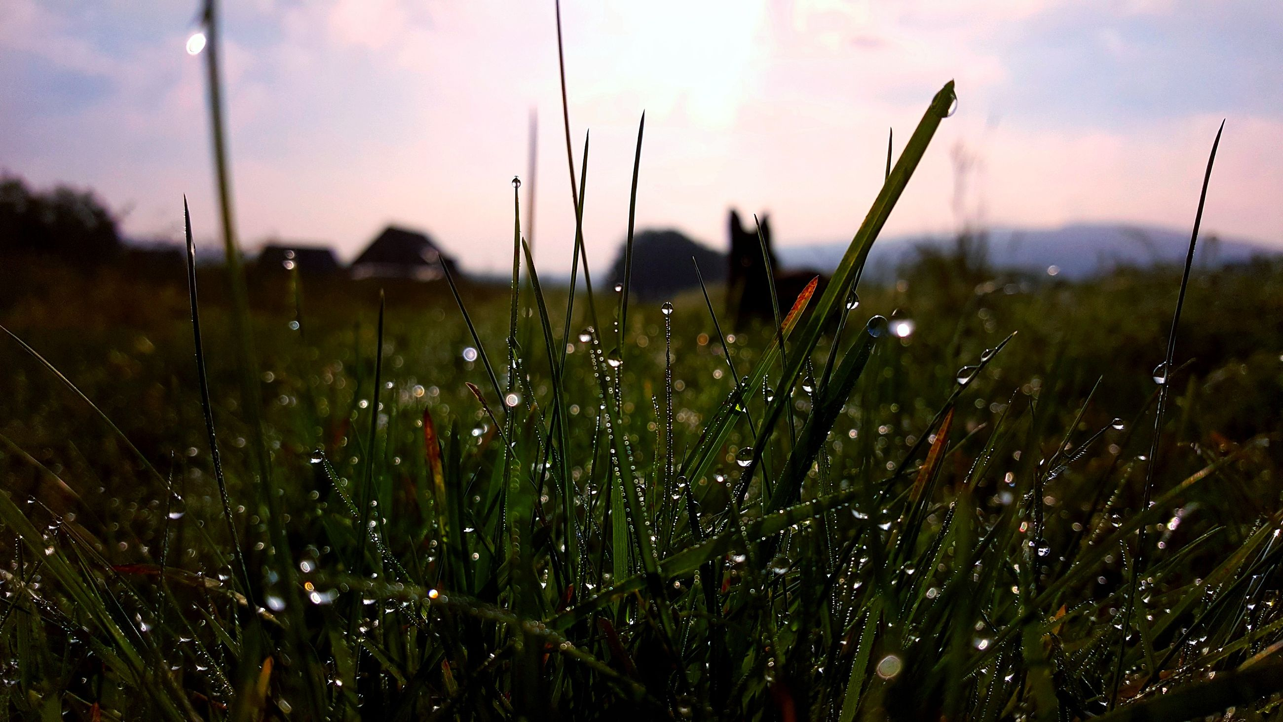nature, growth, plant, beauty in nature, wet, sunset, sky, no people, grass, outdoors, flower, water, fragility, close-up, freshness, day