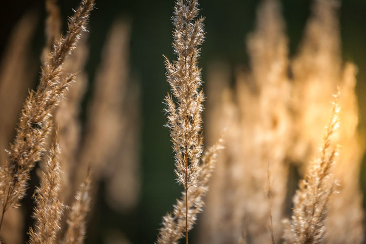 Grass, Spikelets, Sun, Abstraction Grass Abstract Agriculture Beauty In Nature Brown Close-up Day Field Focus On Foreground Growth Nature No People Outdoors Plant Rural Scene Selective Focus