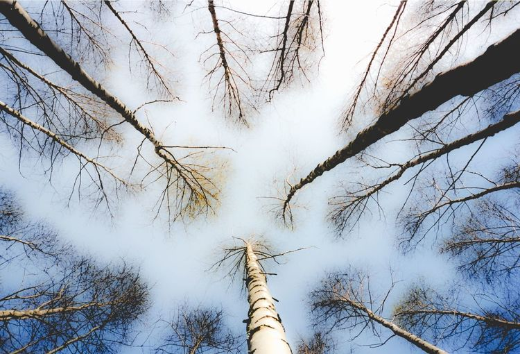 Birch trees in Finnish forest Birch Birch Tree Birch Trees Birken Finland Finnish  Forest Nature Nature No People Outdoors Sky Suomi Tranquility Tree Trunk Wood