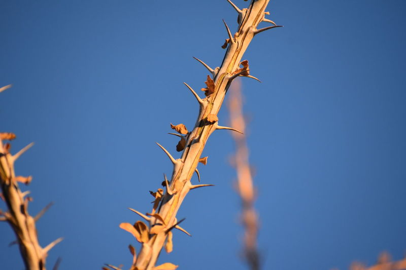 Plant Blue Branch Landscape Outdoors No People Clear Sky Arid Climate Beauty In Nature Ocotillo