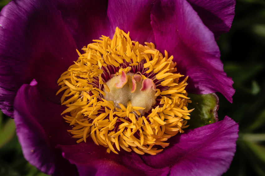 Paeonia officinalis, the common peony, or garden peony, is a species of flowering plant in the family Paeoniaceae, native to France, Switzerland and Italy. It is an herbaceous perennial growing to 60–70 cm (24–28 in) tall and wide, with leaves divided into 9 leaflets, and bowl-shaped deep pink or deep red flowers, 10–13 cm (4–5 in) in diameter, in late spring (May in the Northern Hemisphere). https://en.wikipedia.org/wiki/Paeonia_officinalis Flower Petal Beauty In Nature Flower Head Close-up Nature Yellow Purple EyeEm Nature Lover EyeEm Best Shots