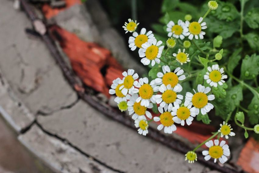Beauty In Nature Close-up Daisies Daisy Day Flower Fragility Freshness Little Nature No People Plant