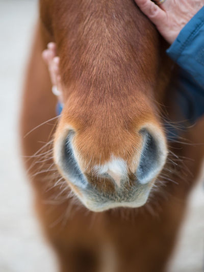 Mammal One Animal Domestic Animals Pets Domestic Animal Body Part Human Body Part Vertebrate Close-up Human Hand Livestock Hand Day People Brown Focus On Foreground Animal Wildlife Herbivorous Animal Leg Care Pet Owner Icelandic Horse