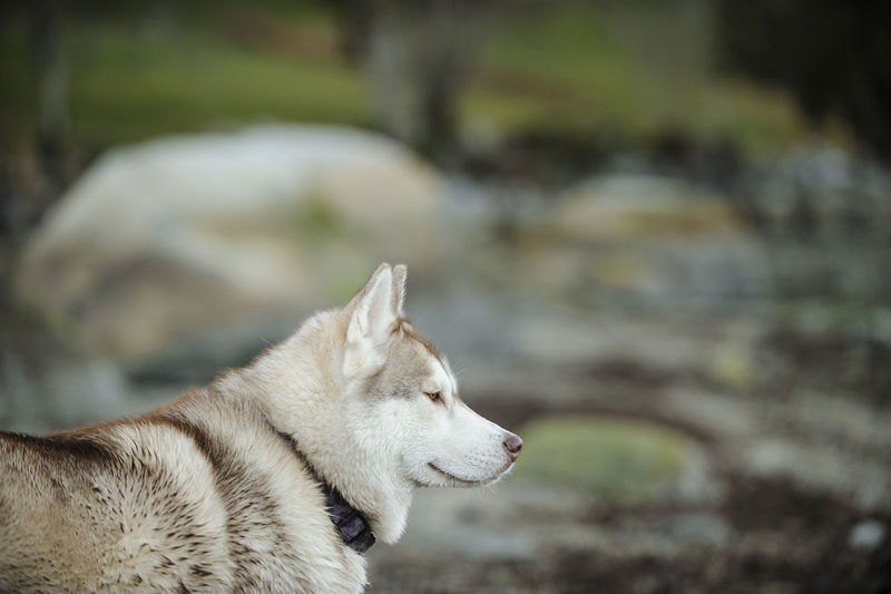 Siberian Husky dog Animal Animal Themes Canine Dog Husky Natural Light No People Outdoors Pet Pets Siberian Husky