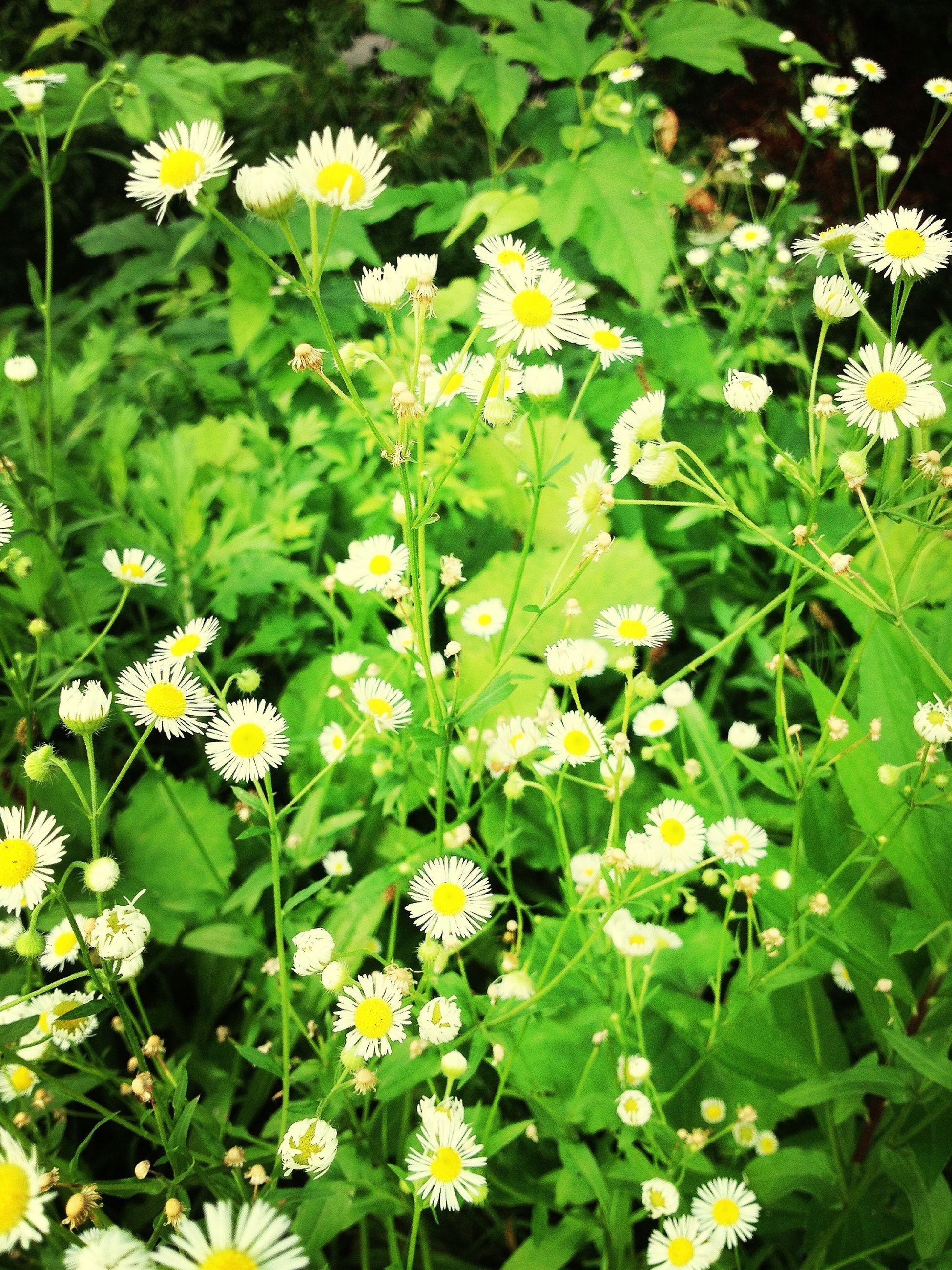 flower, freshness, growth, fragility, petal, yellow, beauty in nature, white color, plant, blooming, flower head, green color, nature, daisy, high angle view, leaf, in bloom, field, outdoors, day