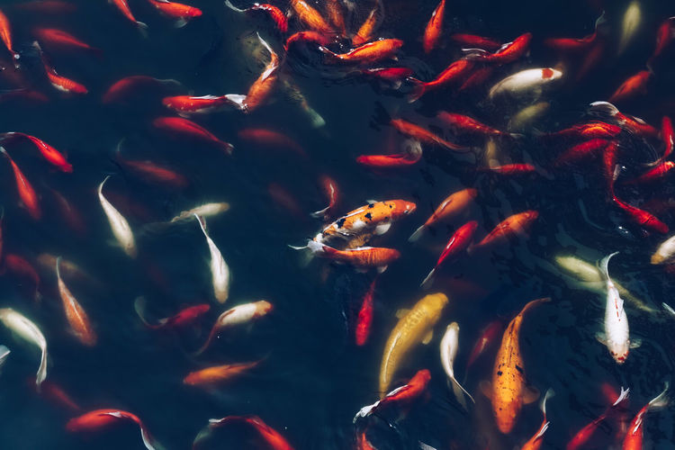 Animal Themes Animals In The Wild China First Eyeem Photo Full Frame HongKong Koi Multi Colored Orange Outdoors Park Pondlife Portrait Red Sea Life Swimming Swimming Textured  Water Wildlife