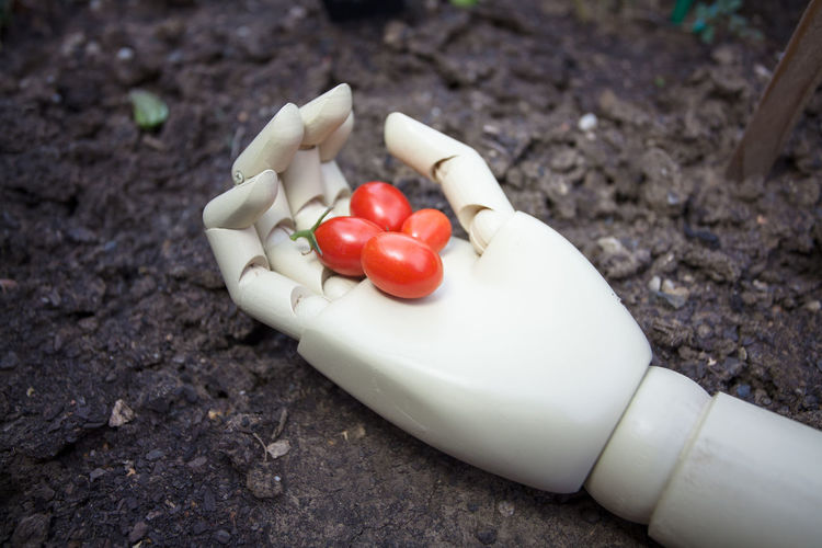 cherry tomato in prosthetic hand Food Vegetable Freshness Tomato Close-up Red Outdoors Raw Food Cherry Tomato Robotic Prosthetic Hand Cyborg Realistic Symbol Innovation Limb Object Concept Business Plastic Technology Background Soil Industrial