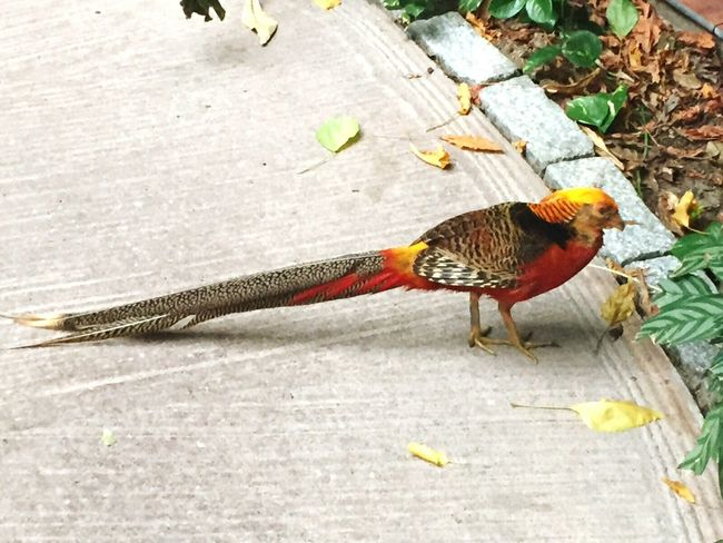 Goldfasan im Tropical Island Fasan Goldfasan Tropical Island Vogel Gold