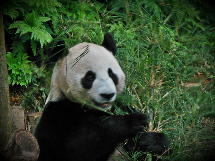 Animal Themes Animal Wildlife Animals In The Wild Bamboo Giant Panda Mammal Nature One Animal Panda Panda - Animal Panda Bears Singapore Zoological Garden