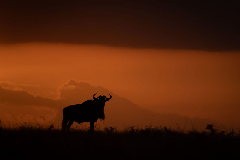 Silhouette Wildebeest Standing On Field Against Sky During Sunset