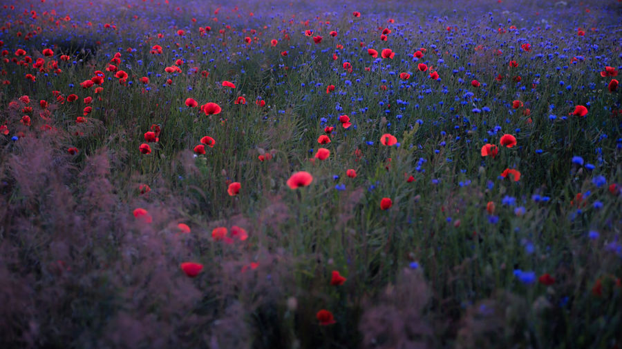 EyeEmNewHere Beauty Beauty In Nature Cereal Plant Field Flower Flowerbed Growth Landscaped Meadow Multi Colored Nature No People Outdoors Plant Poppy Poppy Flowers Red Selective Focus Summer Tranquility Uncultivated Vitality Wildflower