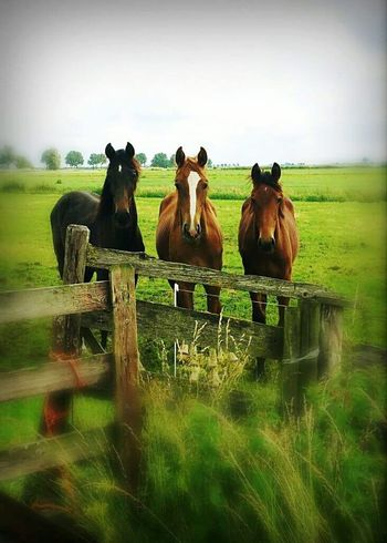 3 horses together. Grass No People Field Nature Landscape Outdoors Sky Animal Themes Day Mammal Agriculture Domestic Animals Beauty In Nature Made By Noesie