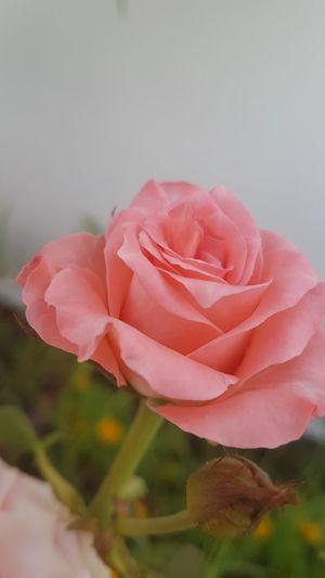 Flower Petal Pink Color Fragility Flower Head Nature Plant