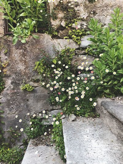 Stairs☝🏻 Plant Growth Flower Flowering Plant Day Nature Beauty In Nature High Angle View Outdoors Sunlight Fragility Vulnerability  Freshness No People Green Color Tranquility Rock Grass Field White Color