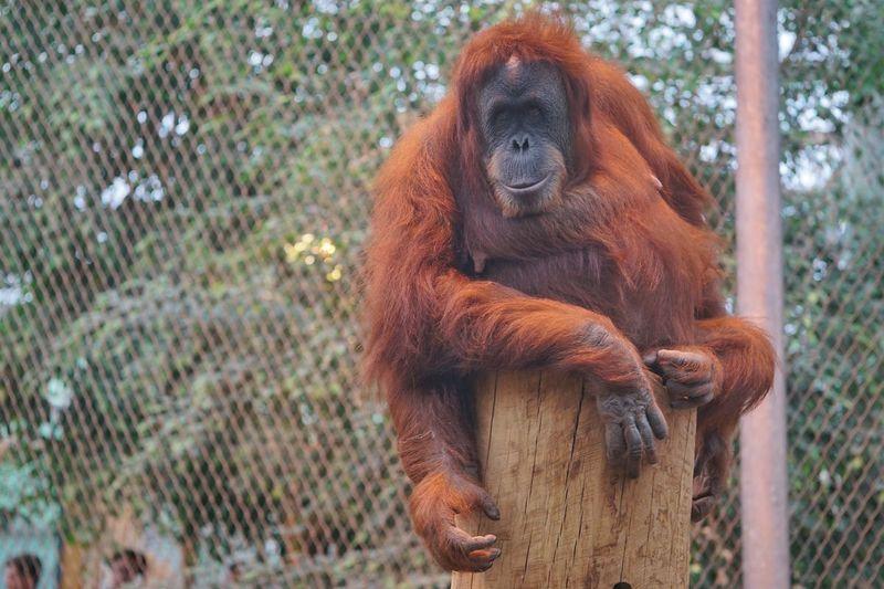 Chillin Ape