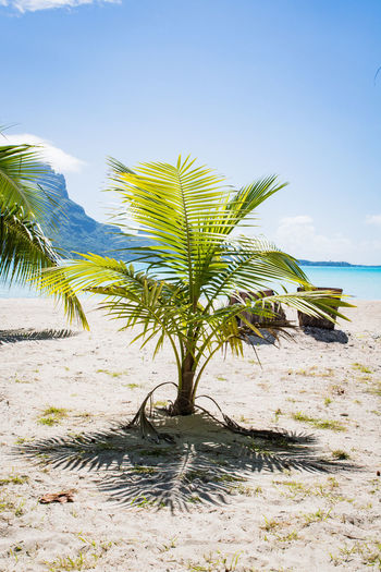palm tree at a beach on bora bora French Polynesia Pacific Travel Beach Beauty In Nature Day Growth Lagoon Land Nature No People Outdoors Palm Tree Plant Sand Scenics - Nature Sea Sky Tahiti Tranquil Scene Tranquility Travel Destinations Tree Tropical Climate Water The Great Outdoors - 2018 EyeEm Awards