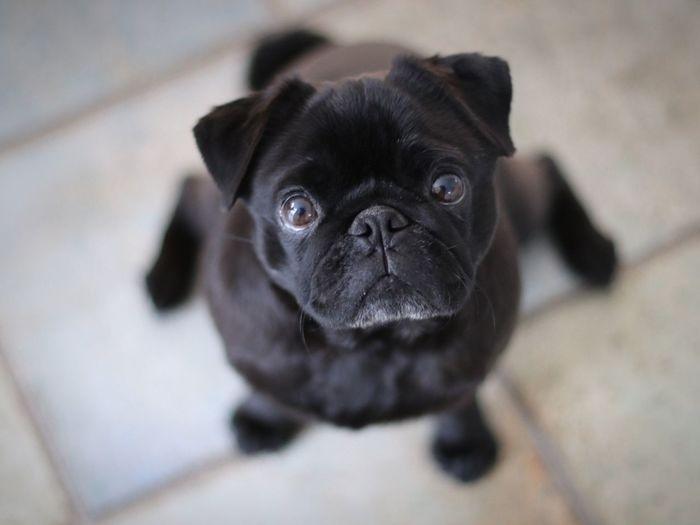 Dog Pug Looking At Camera Indoors  Portrait Close-up Mops Mopsi Hund Dogs Cute Pets Cute Dog  Niedlicher Hund Niedlich Cute Awww Awww So Cute <3 EyeEm Selects EyeEm Selects Pet Portraits