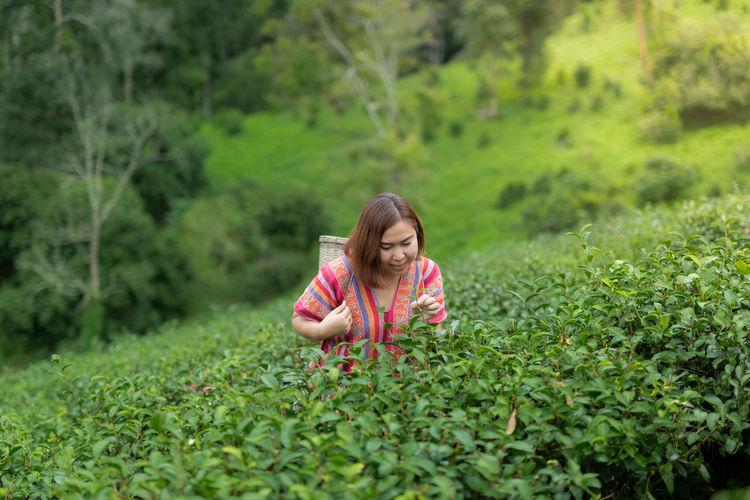 Asian woman picking tea in the tea field