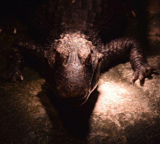 crocodile Crocodilecreek Crocodiles Prilaga Crocodile No People Close-up Portrait Indoors  Day Mammal