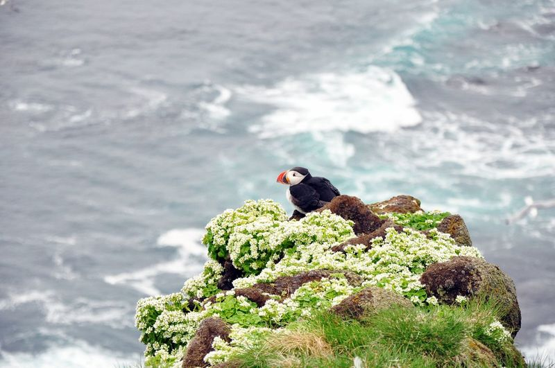 Puff puffin Bird One Animal Beauty In Nature Landscape Perching Outdoors Nature Iceland Travel Destinations Travel Photography Iceland Memories Scenics Puffin