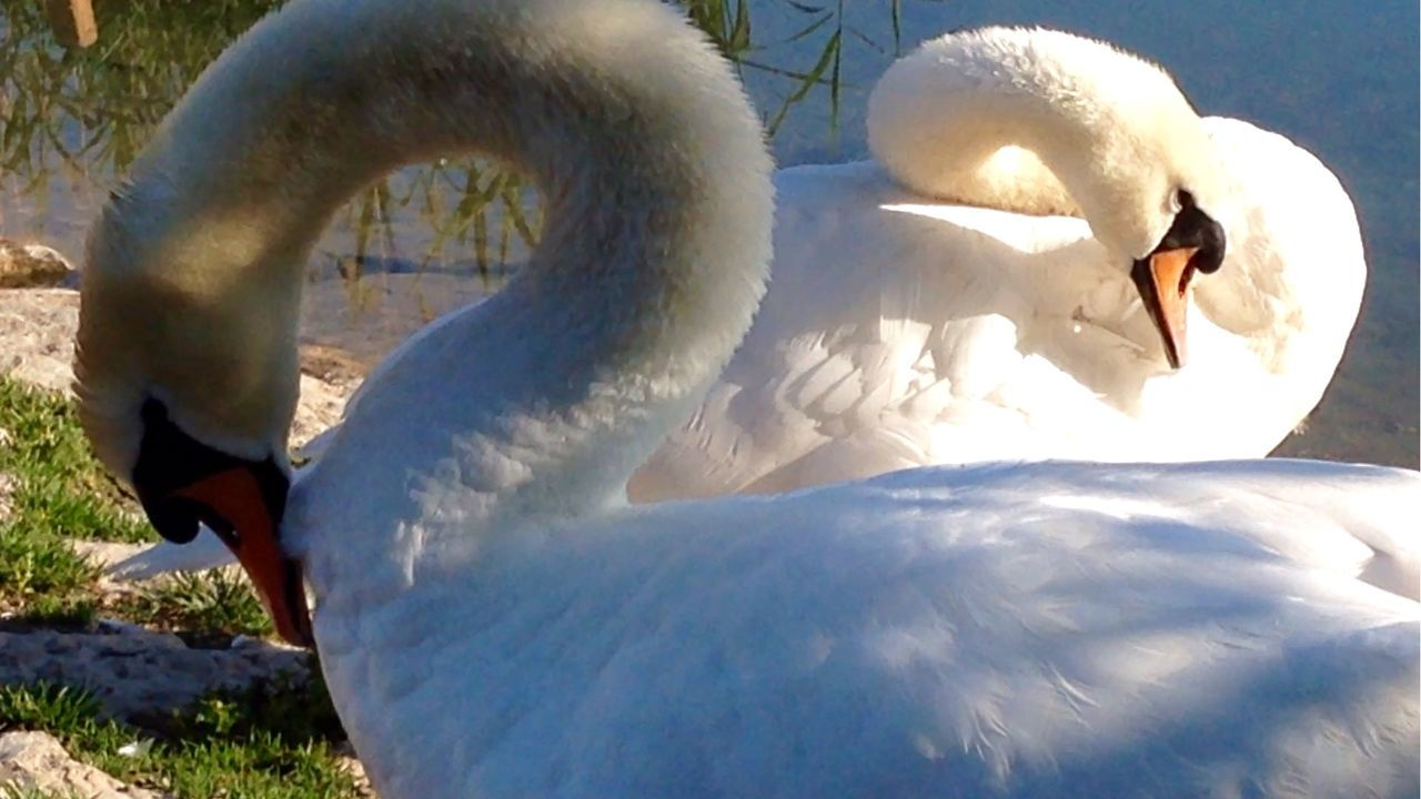 swan, bird, animal themes, white color, animals in the wild, water bird, beak, day, no people, sunlight, one animal, nature, outdoors, close-up