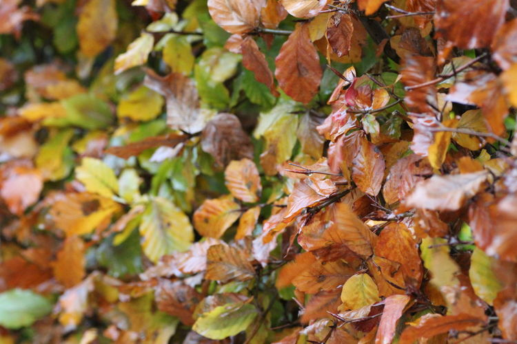 Hedgegerow Hedge Hedgerow Leaves Leaf Autumn Plant Part Change Close-up Plant Day Nature Beauty In Nature Full Frame No People Dry Orange Color Selective Focus Outdoors Backgrounds Maple Leaf Growth Tree Autumn Collection Natural Condition Fall