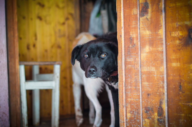 Pets Domestic One Animal Domestic Animals Mammal Nikon5100D Nikon 50mm 50mm 1.4 Homeless Animal Dog Animal Themes Animal Portrait Looking At Camera Canine Wood - Material Indoors  Entrance No People Standing Purebred Dog Looking Animal Head  Focus On Foreground Waiting Door Day Russia