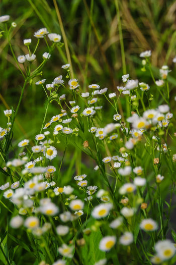 Close-up of white flowering plants on field
