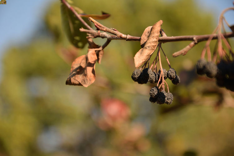 Dried aronia fruit, Aronia Medik Aronia Aronia Medik Aronia Berries Aronia Leaves Beauty In Nature Branch Change Close-up Day Dried Dry Flowering Plant Focus On Foreground Fragility Hanging Leaf Leaves Nature No People Outdoors Plant Plant Part Selective Focus Vulnerability  Wilted Plant EyeEmNewHere
