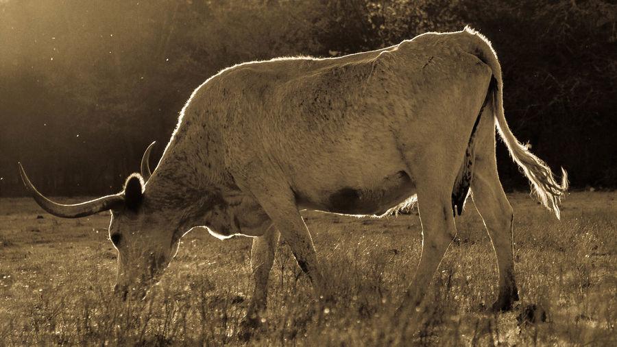 Texas longhorn cattle grazing on field