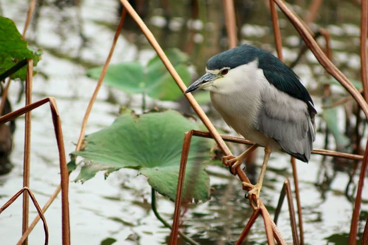Black crowned night heron perching on twig over pond