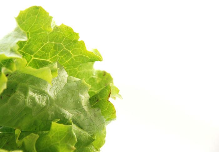 lettuce Close-up Day Food Food And Drink Freshness Green Color Healthy Eating Leaf Lettuce Lettuce Salad Lettuce. No People Salad Studio Shot Vegetable White Background