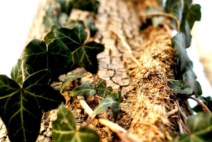 EyeEm Best Shots EyeEm Nature Lover EyeEm Gallery Ivy Leaves Nature Photography The Week on EyeEm Tree Trunk TreePorn Beauty In Nature Close-up Efeu Bewachsener Baum Eye4photography  Focus On Foreground Growth Ivy Collection Ivy Covered Ivy On Trees Ivy Photography Leaf Leafs Photography Nature_collection Naturelovers Naturephotography Selective Focus Tree_collection