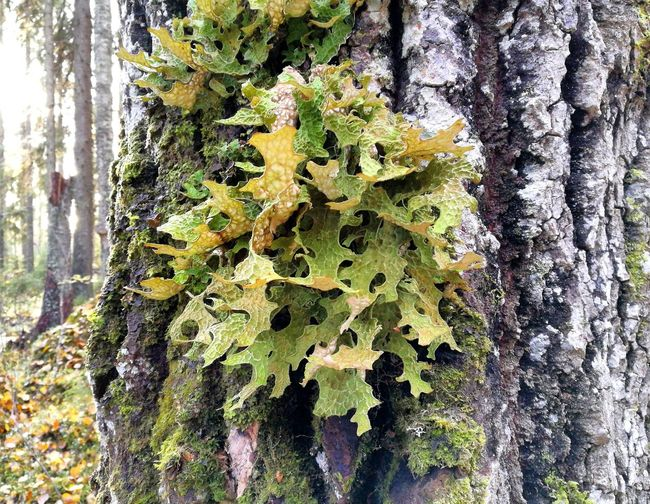 Growth Nature Day Tree Close-up No People Green Color Outdoors Tree Trunk Beauty In Nature Fragility Freshness Lobaria Pulmonaria Raidankeuhkojäkälä Lichen Lichen On A Tree Nature Photography Finland Perspectives On Nature Taking Photos Photo Photography Eyeemphoto Old Forest Discovering Nature