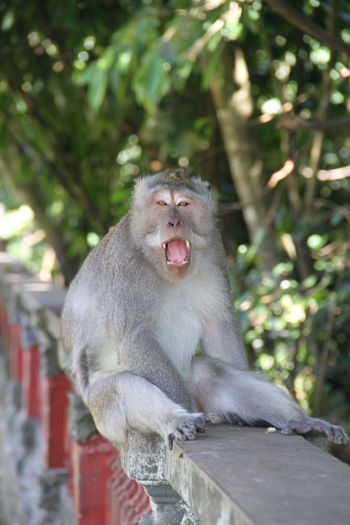Baboon Yawning Portrait Screaming Sitting Shouting Mouth Open Anger Ape
