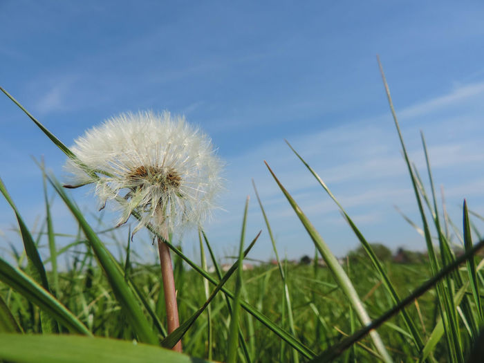Dandelion On Grassy Field Against Sky
