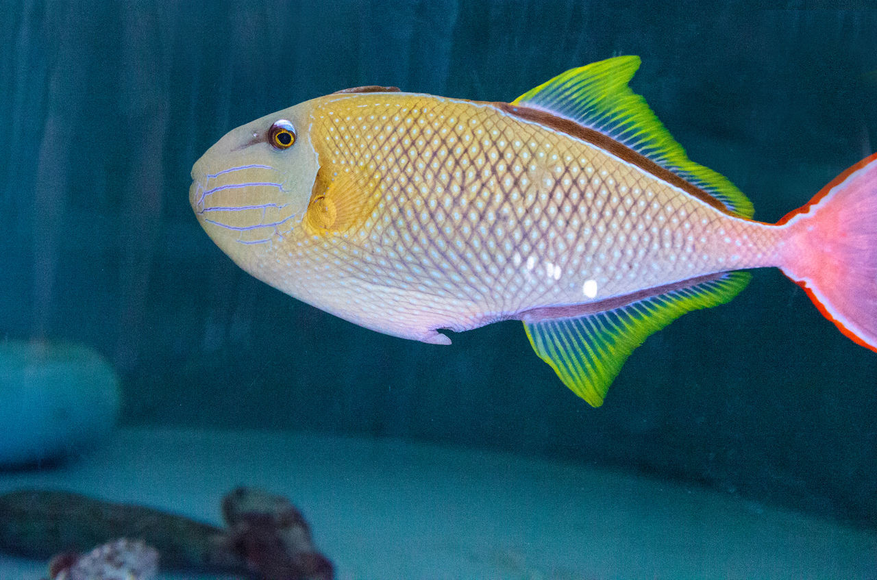 fish, underwater, animals in the wild, sea life, animal themes, one animal, swimming, no people, animal wildlife, water, sea, undersea, close-up, indoors, nature, beauty in nature, day