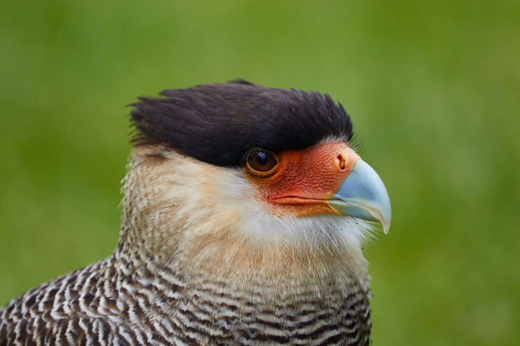 The southern Crested Caracara Southern Crested Caracara Bird Animal One Animal Focus On Foreground Close-up Bird Of Prey Animal Wildlife Animals In The Wild No People Nature Animal Body Part Day Looking Away Animal Head  Animal Eye Side View