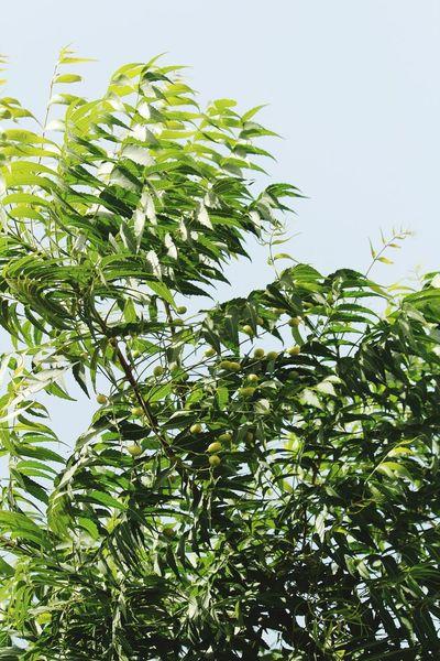 Green Green Leaves Neem Neem Tree Neem Leaves Tree Leaves Fruit Unripe