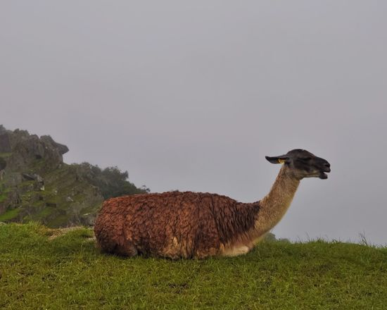 Beauty In Nature Animal Themes Nature Outdoors Historic Site Llama Machu Picchu Peru EyeEmNewHere